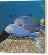 Elongate Surgeonfish Wood Print