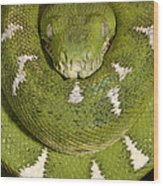 Emerald Tree Boa Corallus Caninus Wood Print by Pete Oxford