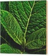 Emerging Hydrangea Leaf Wood Print