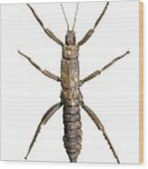 Eurycantha Stick Insect Wood Print