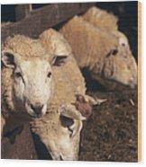 Ewes Feeding Wood Print by David Aubrey
