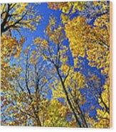 Fall Maple Trees Wood Print