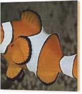 False Clownfish Wood Print