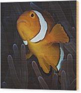 False Ocellaris Clownfish In Its Host Wood Print