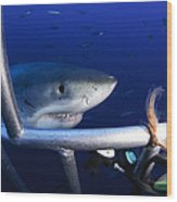 Female Great White Shark, Guadalupe Wood Print
