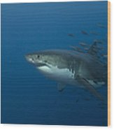 Female Great White Shark With A School Wood Print