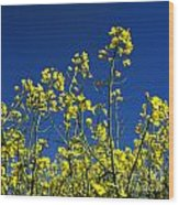 Field Of Rape In Bloom. Auvergne. France. Europe Wood Print