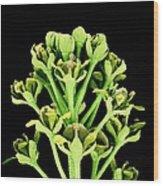 Field Pennycress Flowers Wood Print