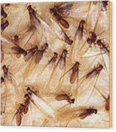Formosan Termites Wood Print
