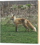 Fox With Dinner Wood Print