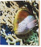 Freckled Hawkfish Wood Print