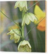 Fritillaria Cirrhosa Var. Thunbergii Wood Print