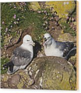 Fulmar Pair Bonding Wood Print