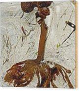 Furbelows Seaweed, Saccorhiza Polyschides Wood Print by Dr Keith Wheeler