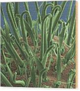 Galium Aparine, Sem Wood Print