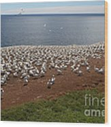 Gannet Colony Wood Print