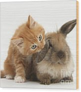 Ginger Kitten And Young Lionhead-lop Wood Print