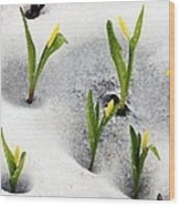 Glacier Lilies (erythronium Grandiflorum) Wood Print