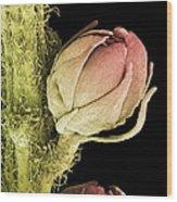 Goat's Beard Flower, Sem Wood Print