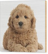 Goldendoodle Puppy Wood Print