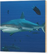 Gray Reef Shark, Kimbe Bay, Papua New Wood Print