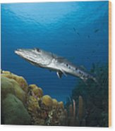 Great Barracuda, Belize Wood Print