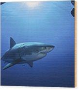 Great White Shark, Guadalupe Island Wood Print
