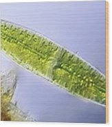 Green Alga, Light Micrograph Wood Print