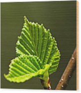 Green Spring Leaves Wood Print by Elena Elisseeva