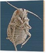 Greenfly, Sem Wood Print by Steve Gschmeissner