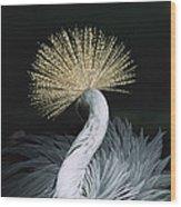 Grey Crowned Crane Balearica Regulorum Wood Print
