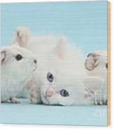 Guinea Pigs And Maine Coon-cross Kitten Wood Print
