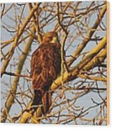 Hawk In A Tree Wood Print