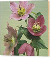 Hellebore Flowers Wood Print