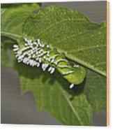 Hornworm With Braconid Wasp Parasites 2 Wood Print