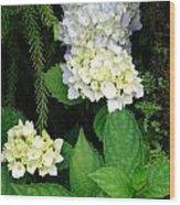 Hydrangea Blooming Wood Print
