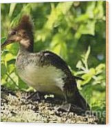 Immature Hooded Merganser Wood Print
