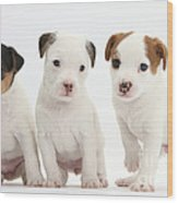 Jack Russell Puppies Wood Print