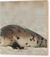 Juvenile Harp Seal Basking In The Sun Wood Print