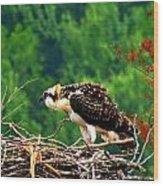 Juvenile Osprey 6493 Wood Print