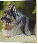 Keeshond Dog, Winnipeg, Manitoba Wood Print