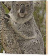 Koala Phascolarctos Cinereus Portrait Wood Print by Pete Oxford