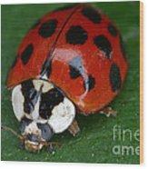 Ladybird Beetle Wood Print