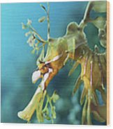 Leafy Sea Dragon Wood Print by Peter Scoones