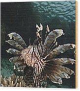 Lionfish, Indonesia Wood Print