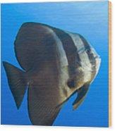Longfin Spadefish, Papua New Guinea Wood Print