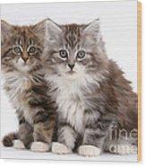 Maine Coon Kittens Wood Print