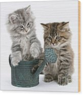 Maine Coon Kitttens Wood Print