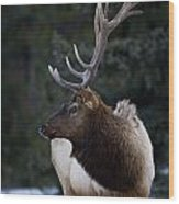 Male Elk Cervus Canadensis Wood Print by Richard Wear