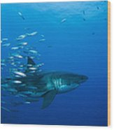 Male Great White Shark And Bait Fish Wood Print
